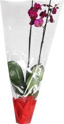 Orquidea Super Premium 2 Tall