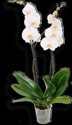 Orquidea phalaenopsis grande blanca