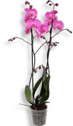 Orquidea phalaenopsis grande Fucsia
