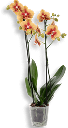 Orquidea phalaenopsis grande Mix Color