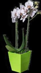 Orquidea phalaenopsis mediana blanca