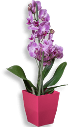 Orquidea phalaenopsis mediana rosa claro