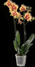 Orquidea phalaenopsis grande cualquier color