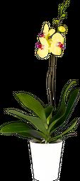Orquídea Premium con matera