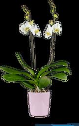 Orquídea supreme con matera ceramica