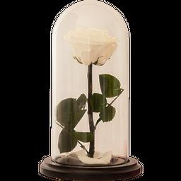 Rosa Encantada Premium Blanca
