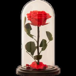 Rosa Encantada Premium Fucsia