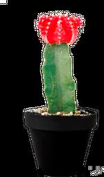 Cactus coreano