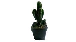 Cactus familia - Planta cactus