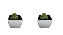 Crassula Perforata - Planta suculenta