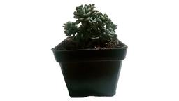 Echeveria Setosa - Planta suculenta