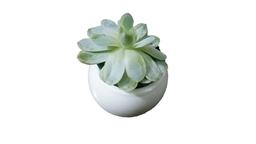 Serpenvivum - Planta suculenta