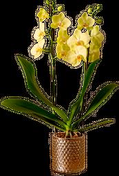 Orquídea phalaenopsis de 3 talllos con matera de lujo en vidrio.