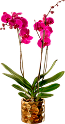 Orquídea phalaenopsis de 3 tallos con matera de lujo.