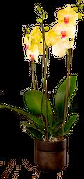 Orquídea phalaenopsis de 3 tallos con matera de lujo en vidrio.