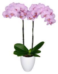 Orquidea Grande color Rosa Claro