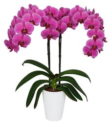 Orquidea Grande color Morado