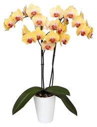 Orquidea Grande color Amarillo boton Rojo