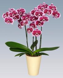 Orquidea Grande color Rosa-Mora