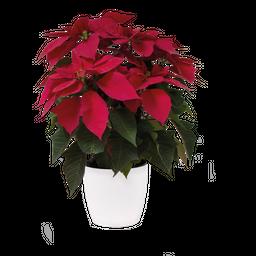 Ponsettia Planta De Navidad Con Matera 40 cms Altura