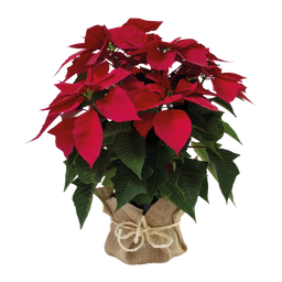Poinsettia planta de navidad Sin Matera 40 cms Altura