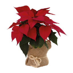 Poinsettia planta de navidad 25 cms Altura