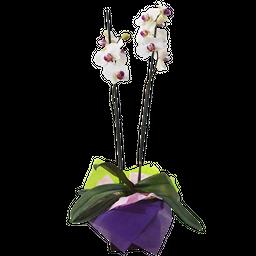 Phallaenopsis blanca