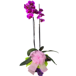 Phallaenopsis Morada- Planta Orquidea
