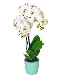 Orquidea Grande Blanco Print