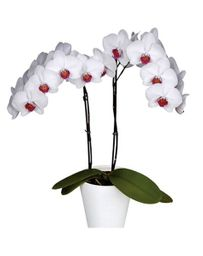Orquidea Grande color Blanco boton Rojo