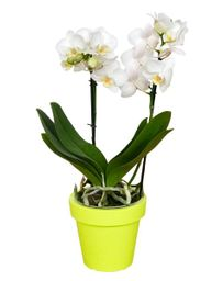 Orquidea Bonsai Multiflora Blanco