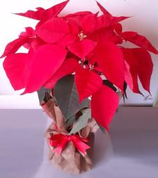 Poinsettias Mediana