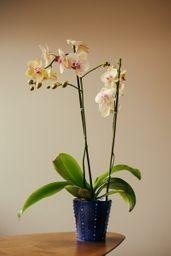 Orquídea Ora