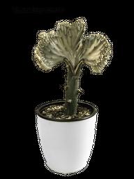 Cactus Euforbia