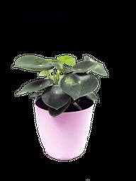 Cucharita