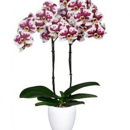 Planta de Orquidea Phalaenopsis Blanca