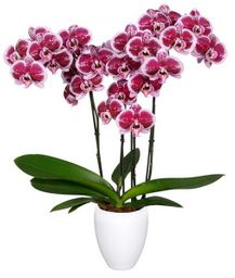 Orquidea Grande Rosa Mora  3 Tallos