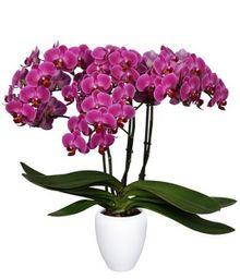 Orquidea Multiflora Mora