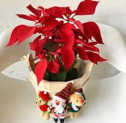 Ponsettia en balde navideño