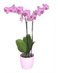 Orquidea Grande Rosa Lineas